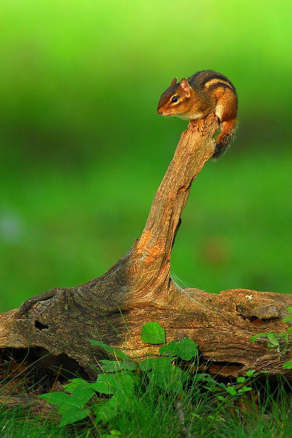 Chipmunk Photograph - Eastern Chipmunk by Alan Lenk