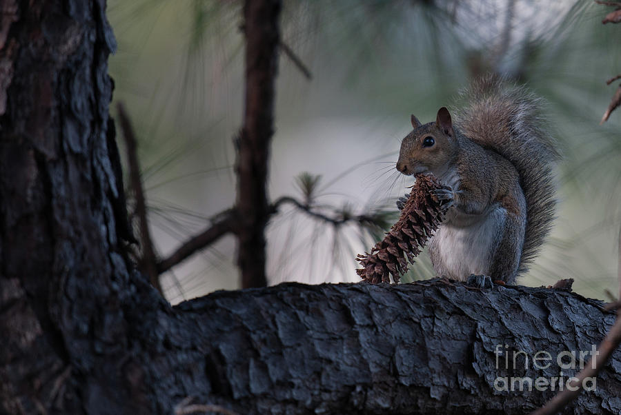 Eating A Pine Cone Photograph