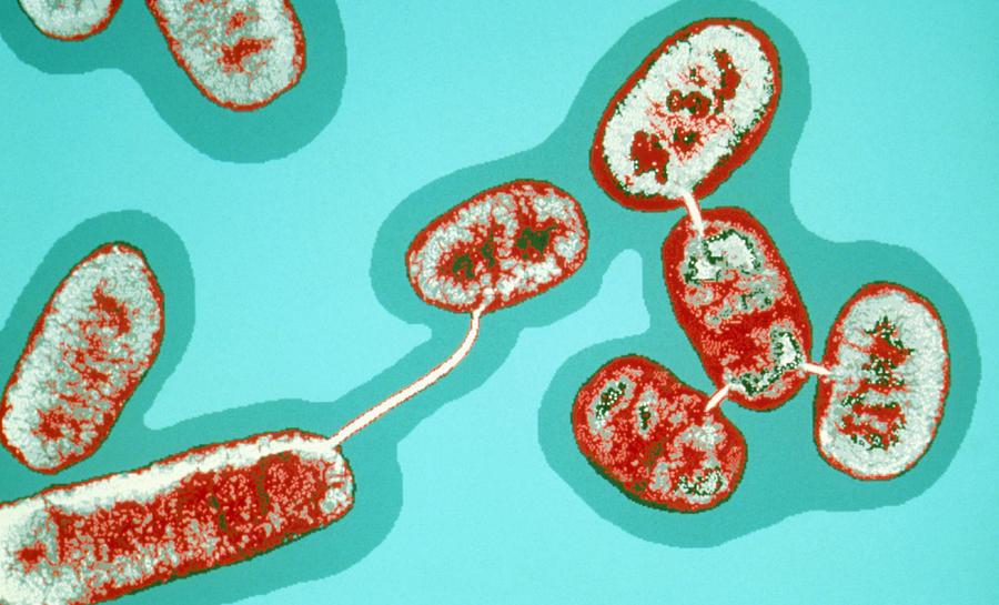 E.coli Bacteria Conjugating Photograph