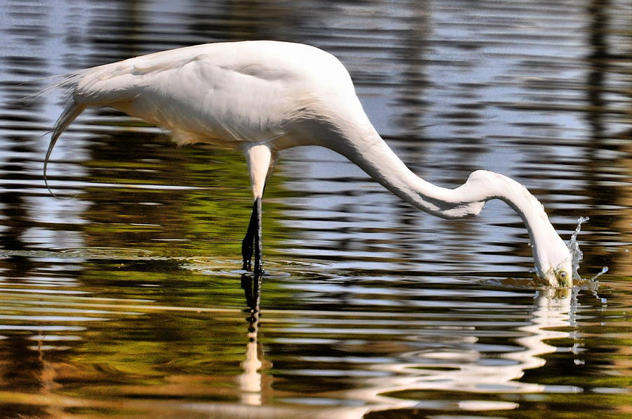 Egret Photograph - Egret Hungry by Emily Stauring
