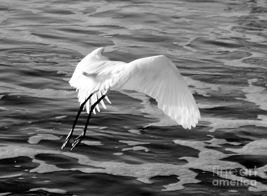 Black and white egret - photo#19