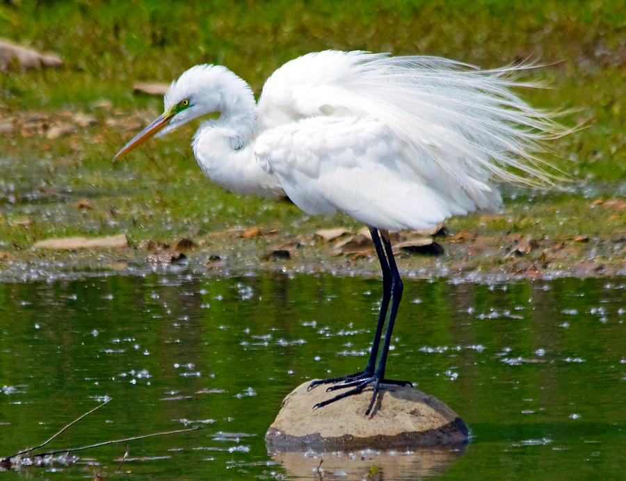Great White Egret Pyrography - Egret In Mating Plumage by Kristine Quandee