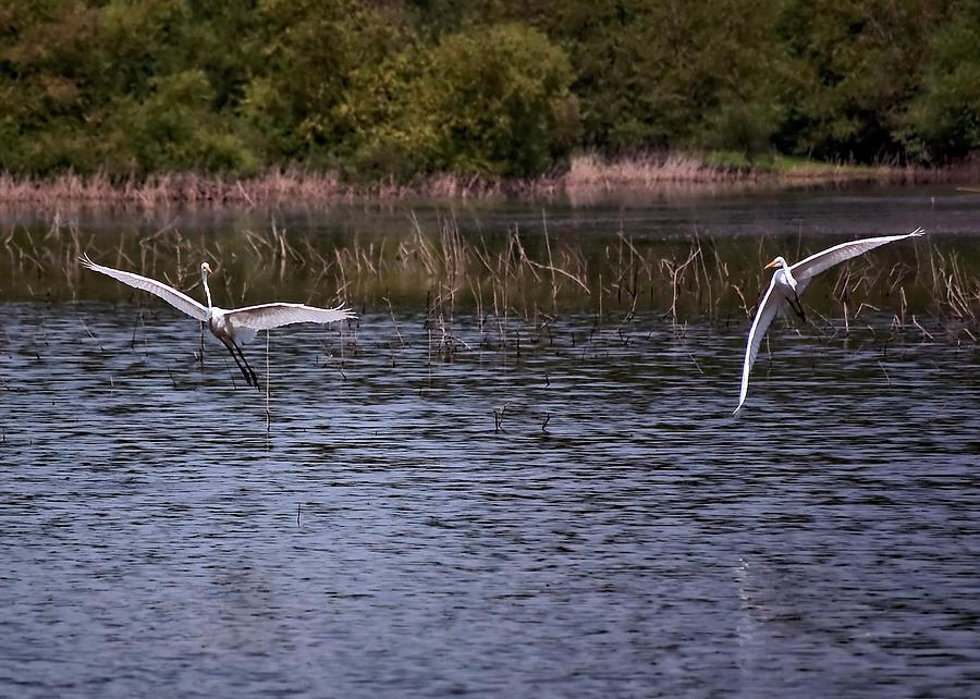 Egrets IIi Photograph