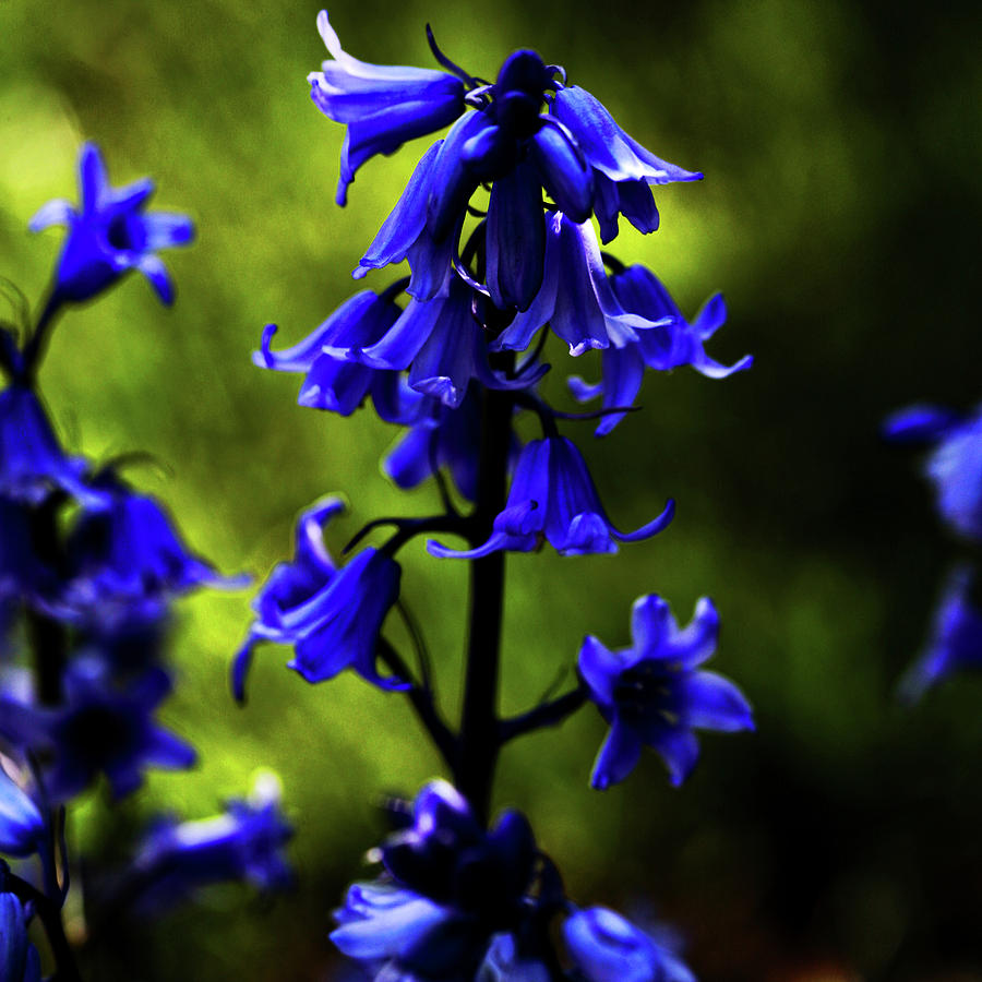 Blue Bell Flowers Photograph - Electric Blue by Bonnie Bruno