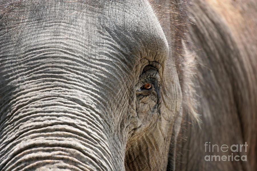 Asian Photograph - Elephant Eye by Jeannie Burleson