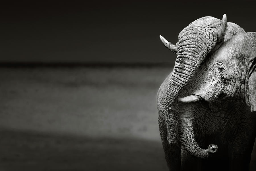 Elephants Interacting Photograph