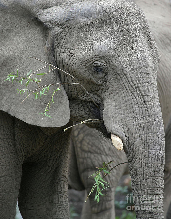 Elephant Photograph - Elly At Lunch by Karol Livote