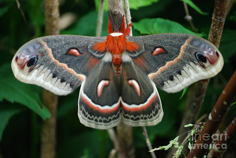 Cecropia Moth Photograph - Emergence by Randy Bodkins