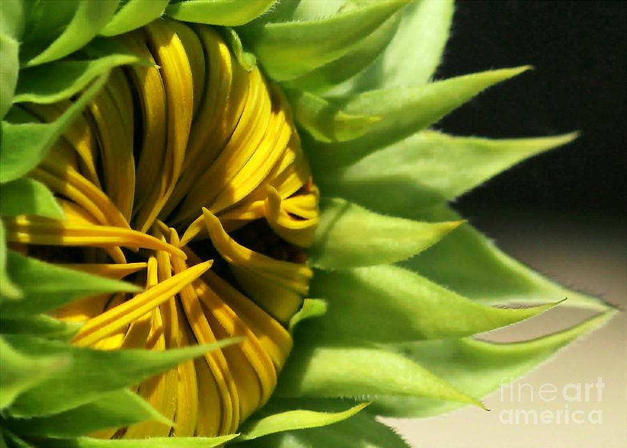 Flower Photograph - Emerging Sunflower by Sabrina L Ryan
