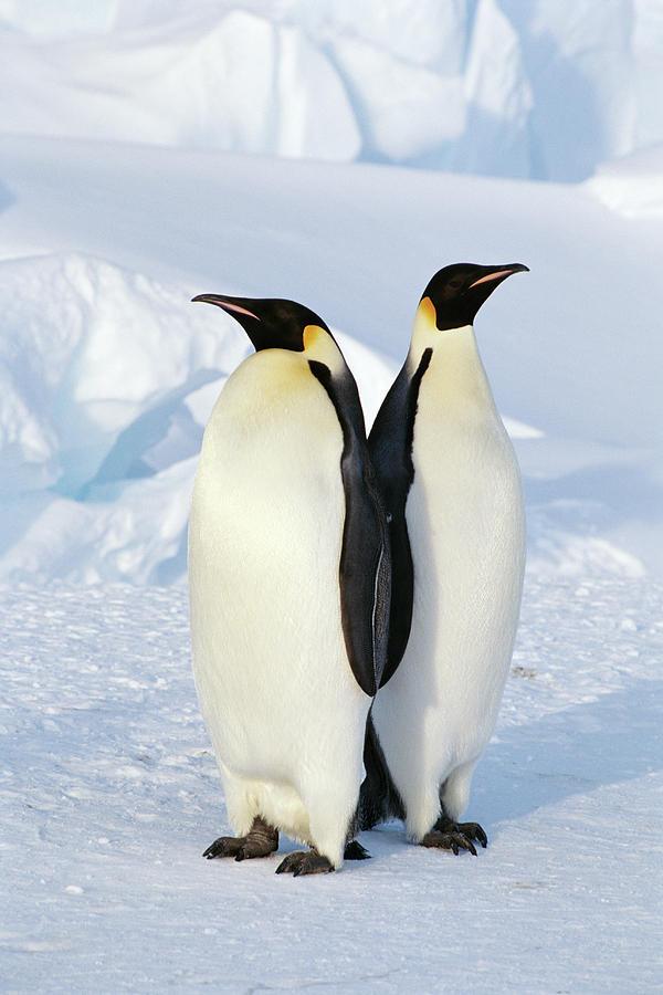 Vertical Photograph - Emperor Penguins, Weddell Sea by Joseph Van Os