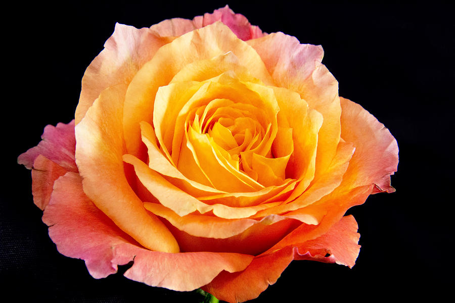 Rose Photograph - Enticing Beauty The Orange  Rose by Daphne Sampson