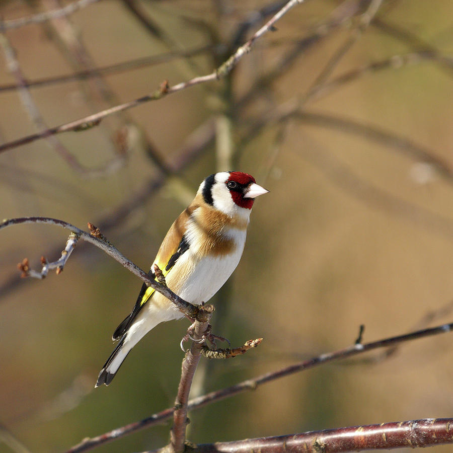 European Goldfinch 2 Photograph
