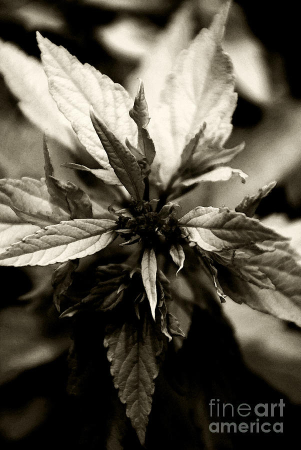 Plant Photograph - Evermore by Linda Knorr Shafer