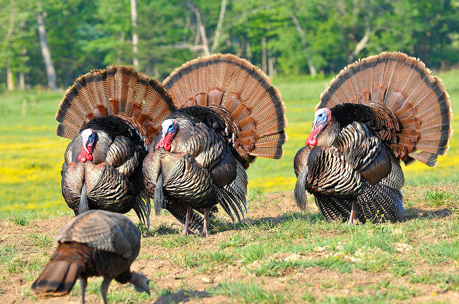 Wild Turkey Photograph - Eyes On The Prize by Todd Hostetter