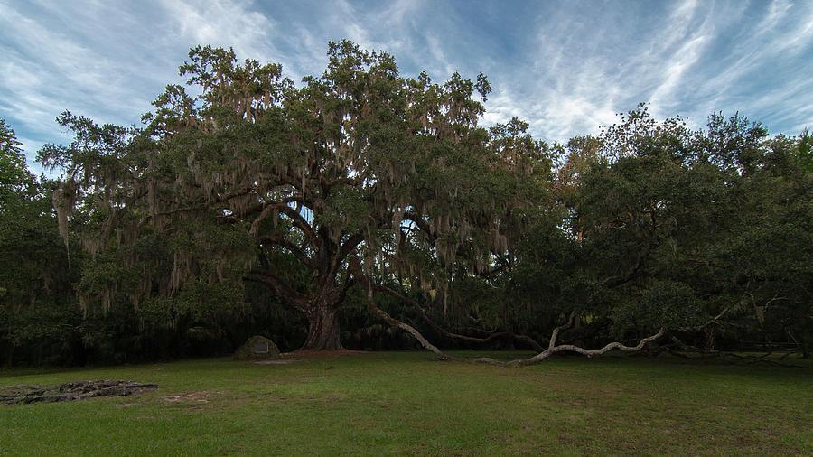 Fairchild Oak Photograph