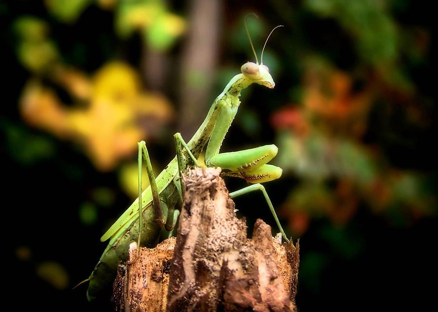 Fall Mantis Photograph