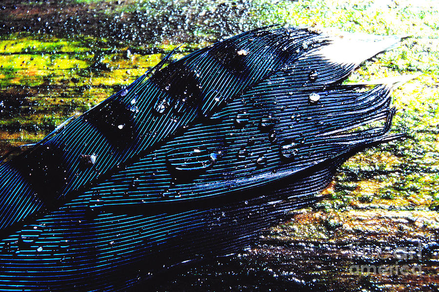 Rain Drops Photograph - Fallen Feather by Thomas R Fletcher