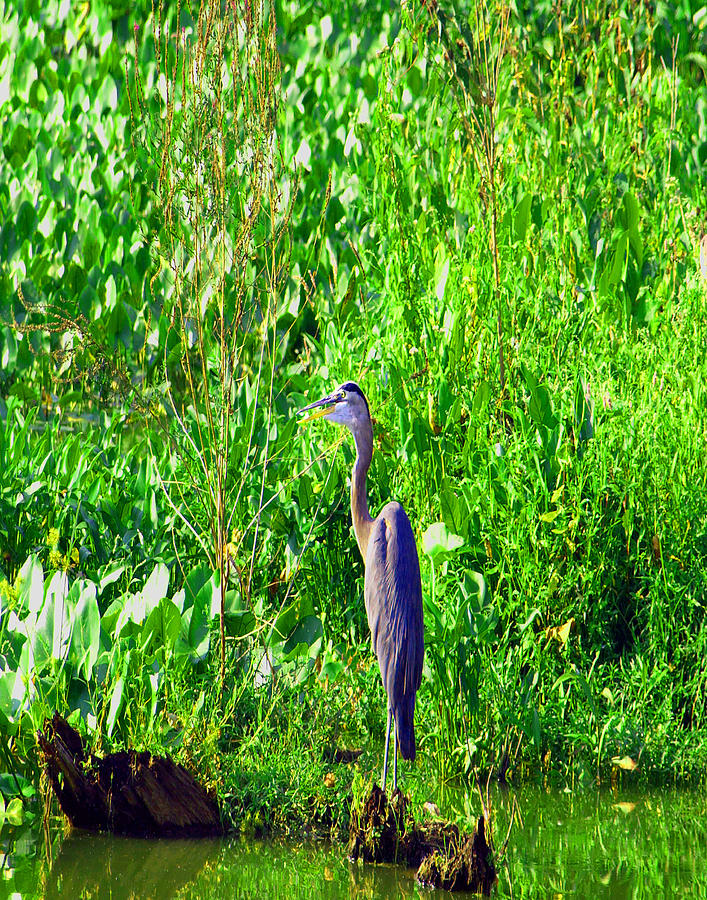 Blue Heron Painting - Father Time by Kim