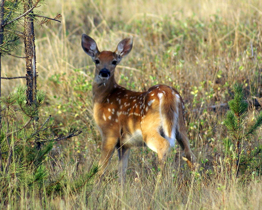 Deer Photograph - Fawn by Marty Koch