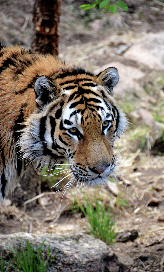 Tiger Photograph - Feline Focus by Angelina Vick