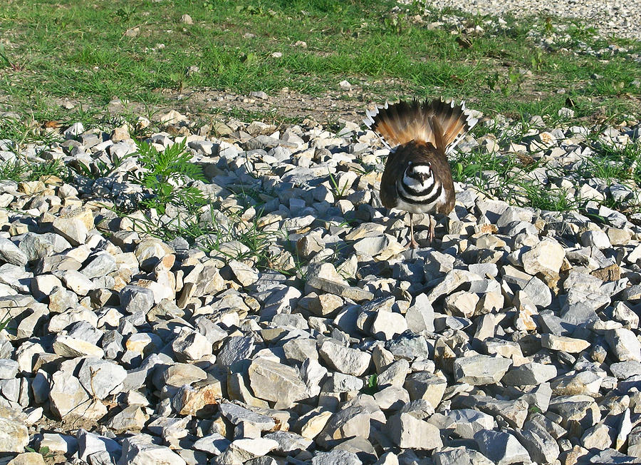 Female Killdeer Protecting Nest Photograph