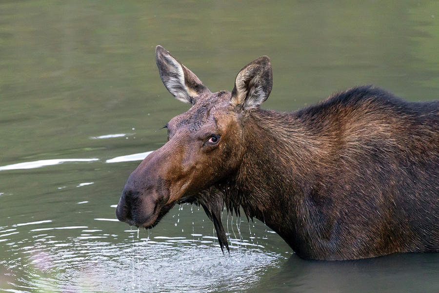 Female Moose Head Photograph