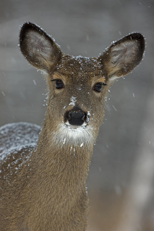 Day Photograph - Female White-tailed Deer, Odocoileus by John Cancalosi