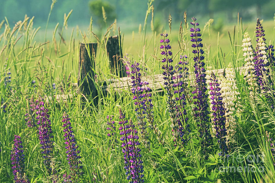 Beautiful Photograph - Field Of Lupin Flowers  by Sandra Cunningham