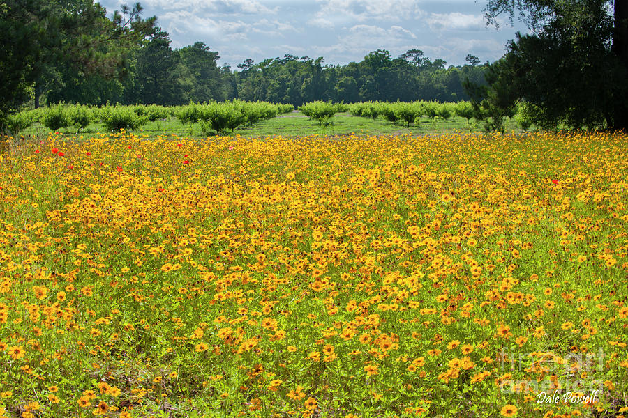 Field Of Yellow Dreams Photograph