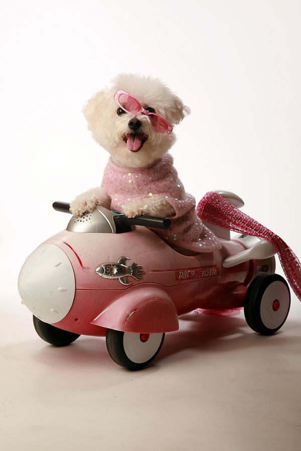 Akc Photograph - Fifi Experiances A Rough Landing In Her Rocket Car by Michael Ledray