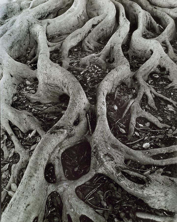 Landscape Photograph - Fig Tree Roots by John Gilroy