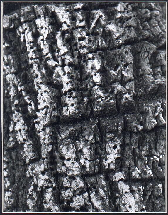 Black And White Photo Photograph - Find The Faces In The Bark by Valerie X Armstrong