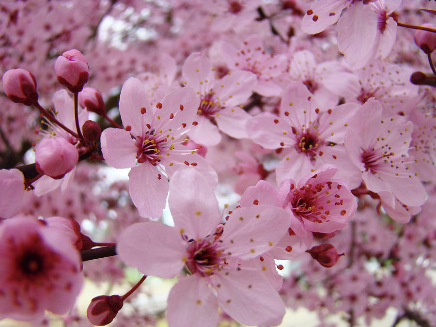 Image Gallery Pinkblossoms
