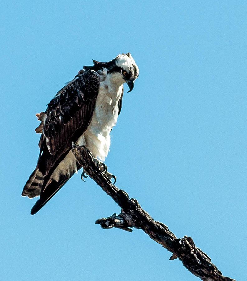 Fish hawk photograph by norman johnson for Fish hawk fl