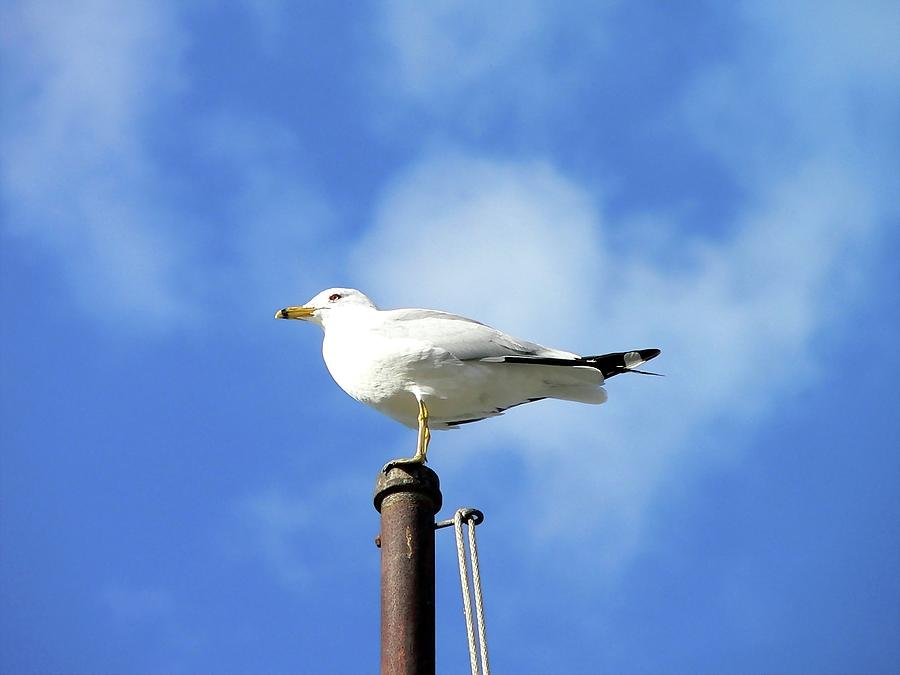 Gull Photograph - Flagpole Gull by Al Powell Photography USA