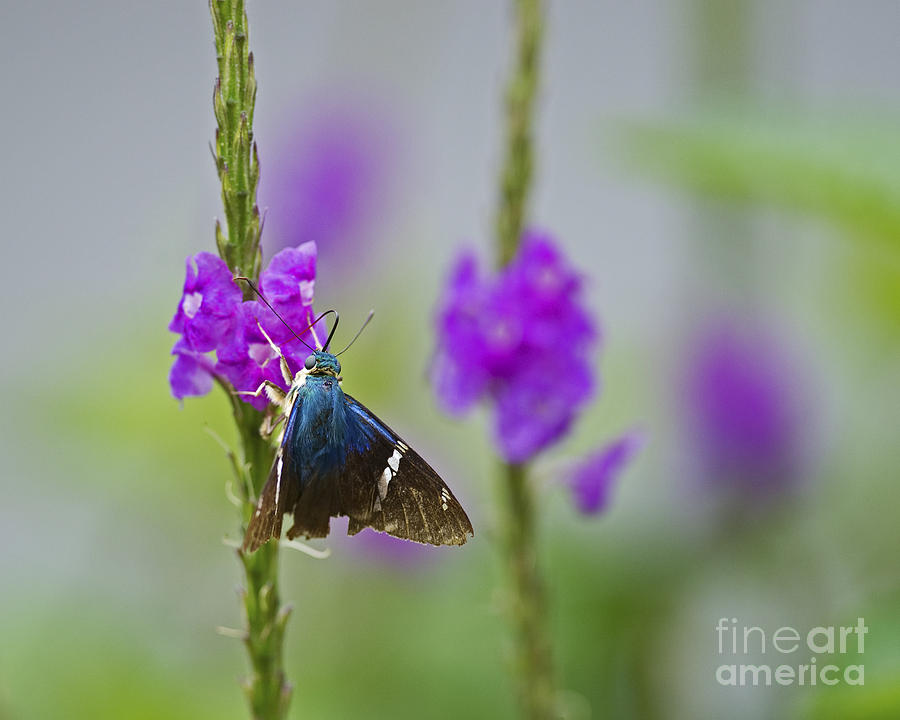 Two-barred Flasher Photograph - Flasher On Weed... by Nina Stavlund