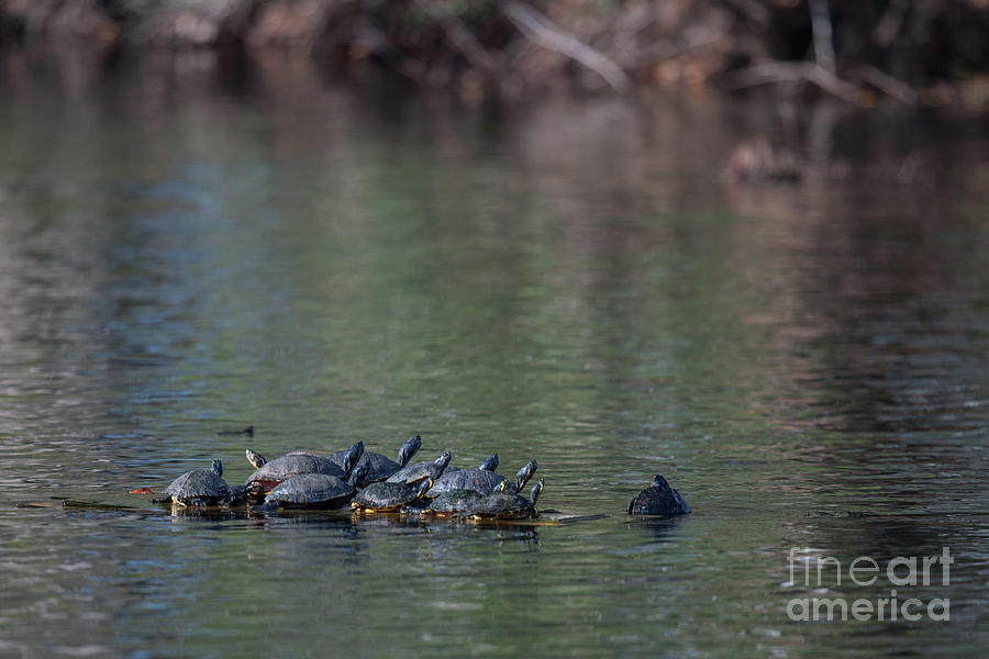 Floating Turtles Photograph