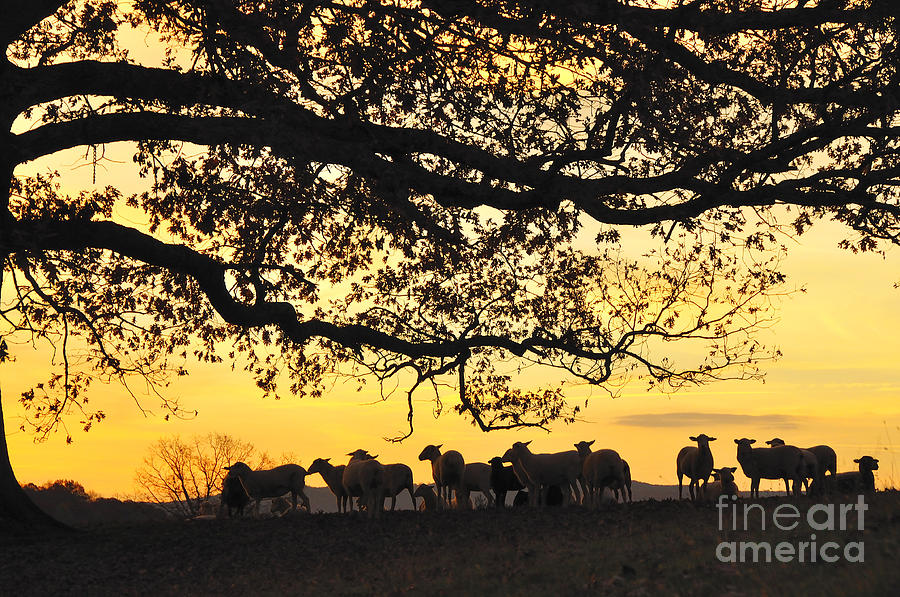 Sheep Photograph - Flock At Sunrise by Thomas R Fletcher