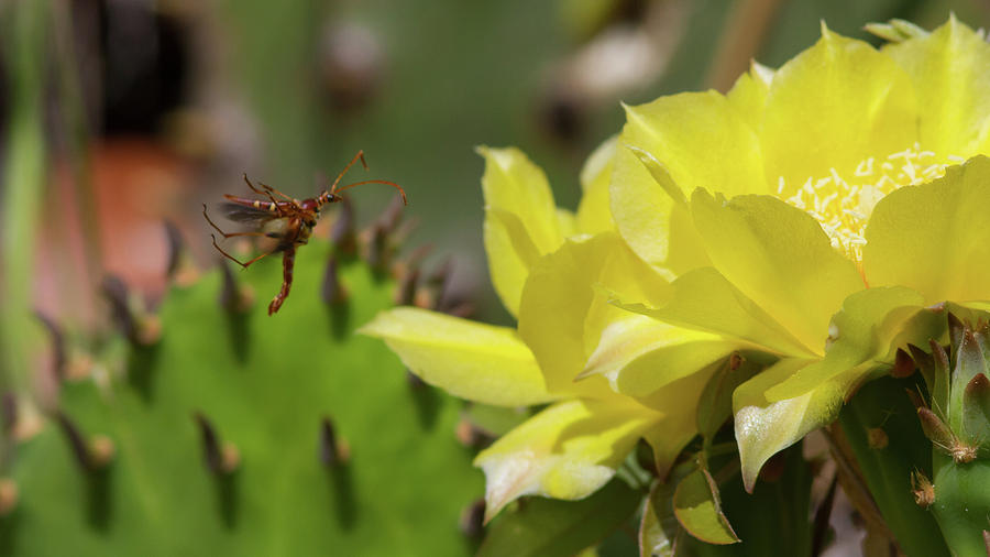 Florida Longhorned Beetle And Cactusflower Photograph