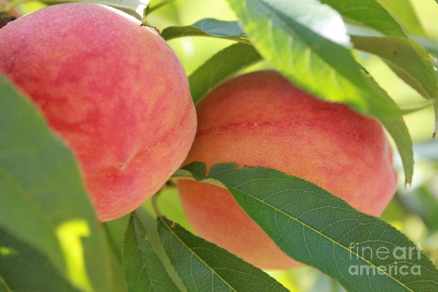 Florida Peaches Photograph