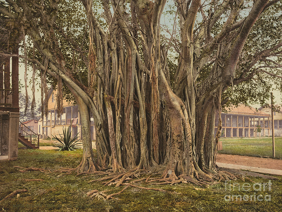 1900 Photograph - Florida: Rubber Tree, C1900 by Granger