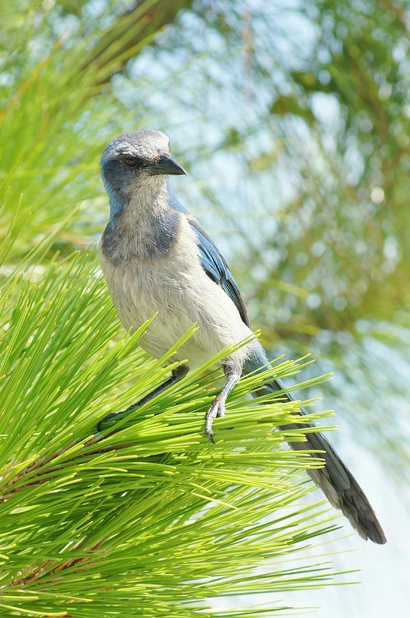 Florida Scrub Jay Photograph