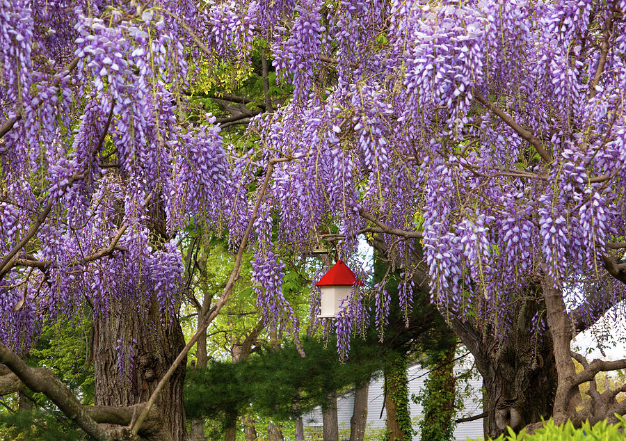 Hdr Photograph - Flower - Wisteria - A House Of My Own by Mike Savad