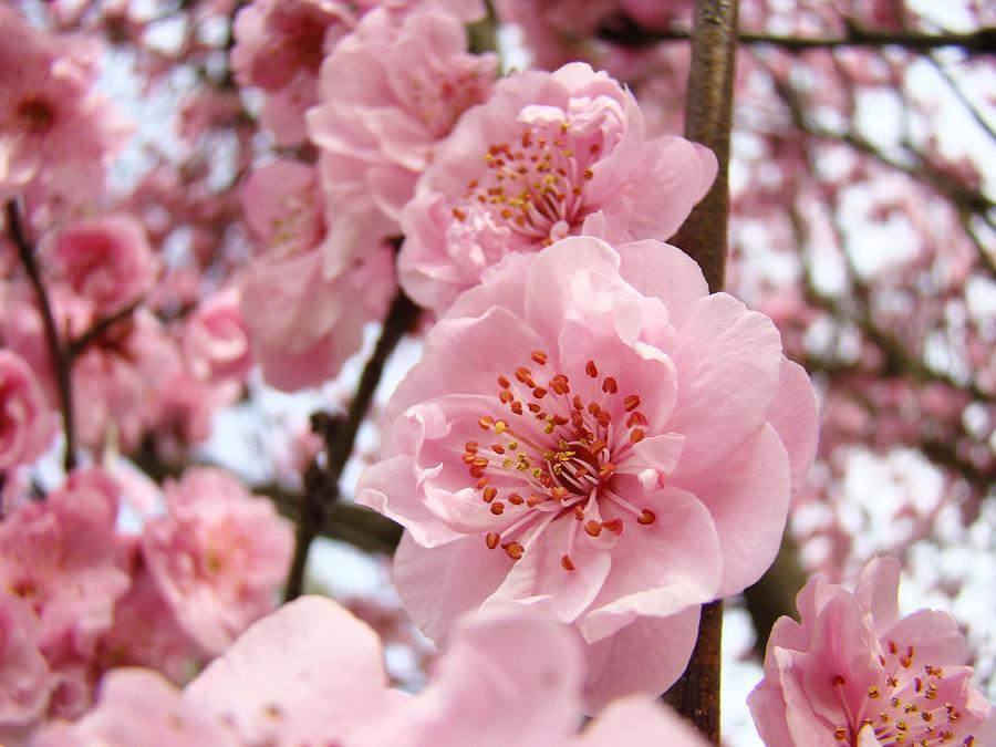 Flower Blossoms Art Spring Trees Pink Blossom Baslee