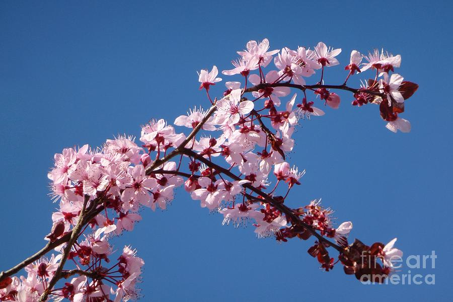 Bloom Photograph - Flowering Of The Plum Tree 4 by Jean Bernard Roussilhe