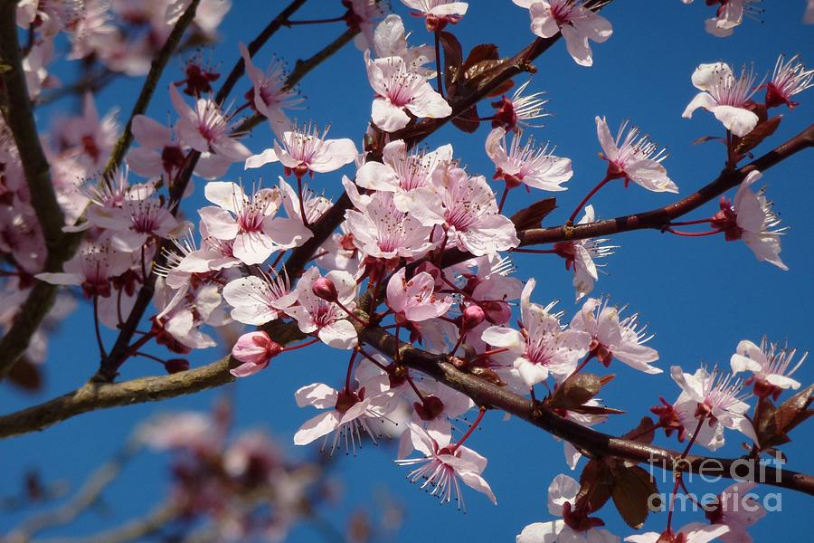 Bloom Photograph - Flowering Of The Plum Tree 5 by Jean Bernard Roussilhe