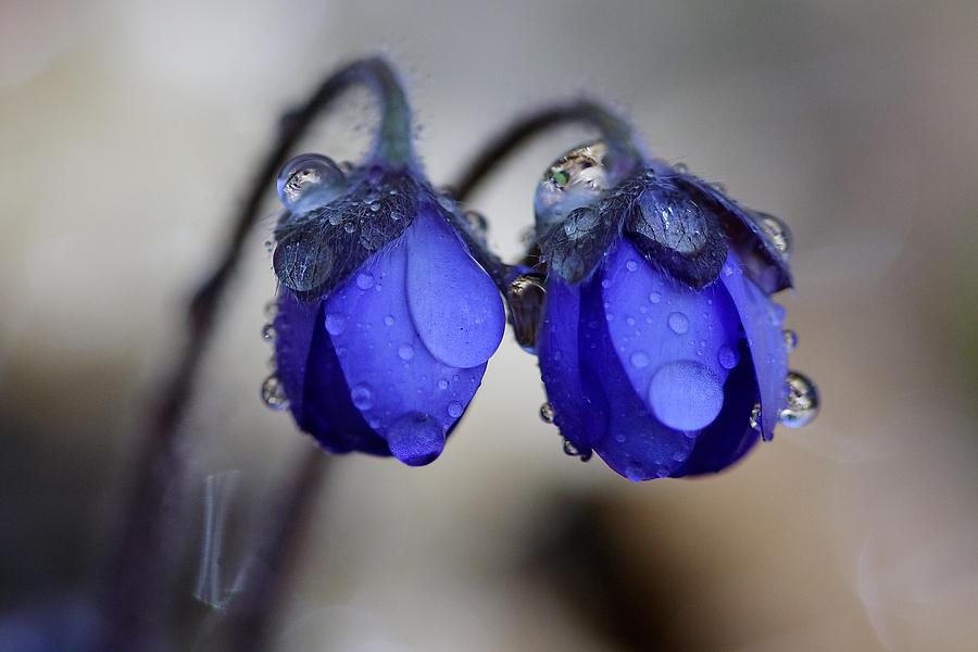 Art Photograph - Flowers Fresh Rain Droplet by Romeo Koitmae