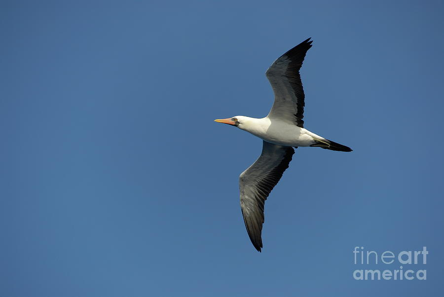Motion Photograph - Flying Masked Booby In Flight by Sami Sarkis