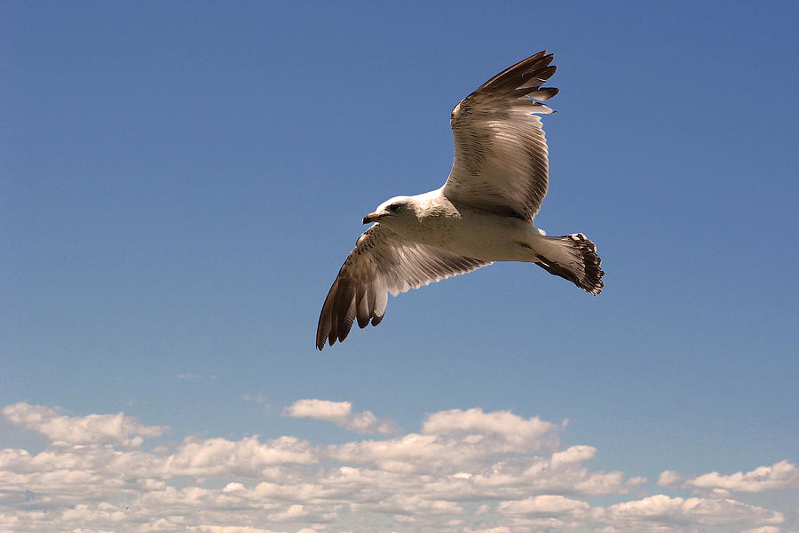 Billed gull photograph flying over the clouds by asbed iskedjian
