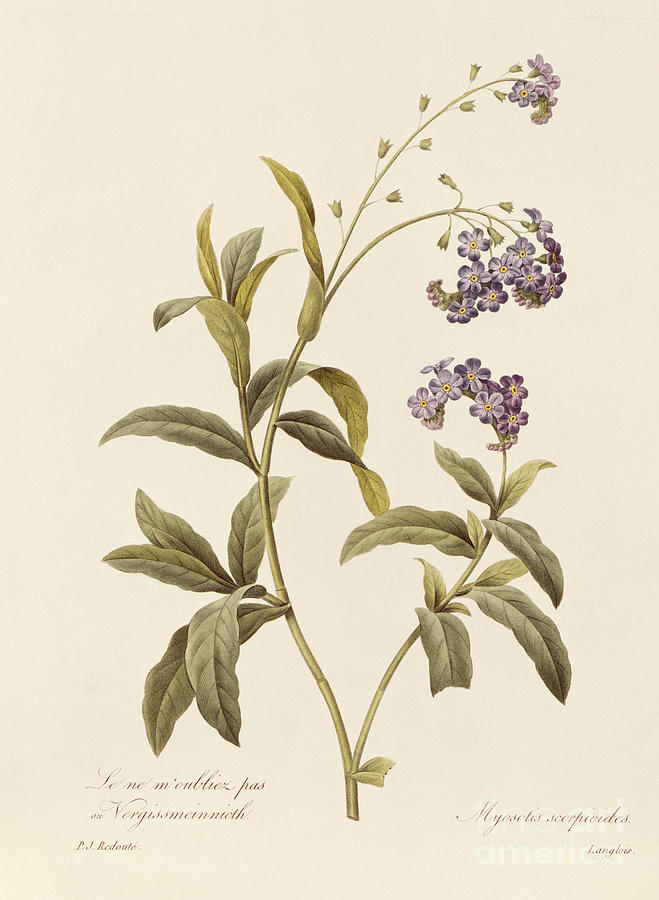 Forget-me-not Drawing - Forget Me Not by Pierre Joseph Redoute